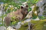 Brown bear Ursus arctos rjavi medved_IMG_0766-111.jpg