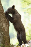 Brown bear Ursus arctos rjavi medved_MG_0620-111.jpg