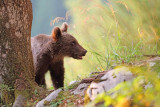 Brown bear Ursus arctos rjavi medved_MG_08871-111.jpg