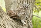 Young tawny owl Strix aluco mlada lesna sova_MG_00221-111.jpg