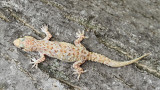 Turkish gecko Hemidactylus turcicus turški gekon_MG_6693-111.jpg