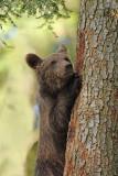 Brown bear Ursus arctos rjavi medved_IMG_0777-111.jpg