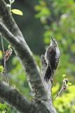 Three-toed woodpecker Picoides tridactylus triprsti detel_MG_6365-111.jpg