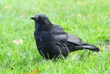 Carrion crow Corvus corone črna vrana_MG_9175-111.jpg
