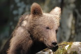 Brown bear Ursus arctos rjavi medved_MG_0793-111.jpg