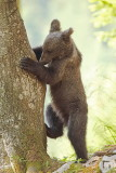 Brown bear Ursus arctos rjavi medved_MG_0670-111.jpg