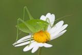 Grasshopper kobilica_MG_6306-111.jpg