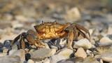 Green crab Carcinus mediterraneus obrežna rakovica_MG_7147-111.jpg