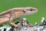 Viviparous lizard Zootoca vivipara carniolica živorodna kuščarica_MG_6300-111.jpg
