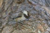 Siberian tit Parus cinctus laponska sinica-PICT0079-111.jpg