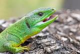 balkan_green_lizard_lacerta_trilineata