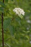 Common dogwood Cornus sanguinea rdeči dren_MG_5717-1.jpg