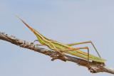 Mediterranean slant-faced grasshopper Acrida ungarica nosata saranèa_MG_8747-111.jpg