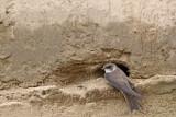 Sand martin Riparia riparia breguljka_MG_86051-111.jpg