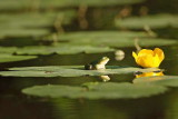 Edible frog Pelophylax (Rana) kl. esculentus zelena žaba_MG_4609-1.jpg