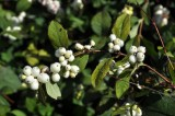 waxberry
