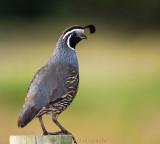 Our Introduced Birds