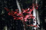 Fall Colors -  Couleurs d'automne