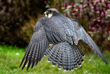 Peregrine/lanner falcon hybrid (2235)