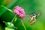 Lime swallowtail on pink flowerhead