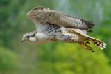 Gyr falcon fly-past!