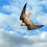 Gyr falcon stoop