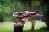 Red kite about to fly