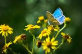 The elusive Adonis Blue