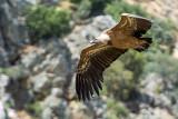 Griffon vulture gliding, Monfrague