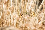 Spoonwing : Thread-winged antlion