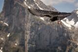 Alpine chough in flight, Fuente De