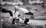 Stork feeding its young, Trujillo