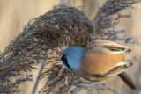 Male bearded reedling, Radipole