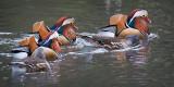 Five mandarin ducks, Ninesprings