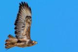 Buzzard in flight, Ham Wall