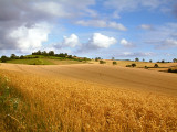 Wheat field, near Tipton St. John (2087)