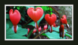 Bleeding hearts (3306)