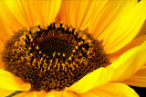 Blazing sunflower (2113)