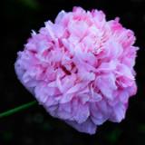 Pink poppy (2289)