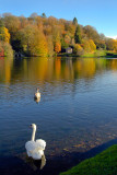 Stourhead ~ do the swans know it's autumn? (2107)