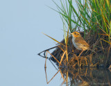 _JFF8839 Sharp Tailed Salt Marsh Sparrow.jpg