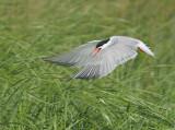 Common Tern into Breeding Area Plymouth.jpg.jpg