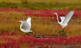 Egrets Fall Marsh Plum Island.jpg.jpg