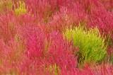 Glasswort Fall Marsh Plum Island.jpg.jpg