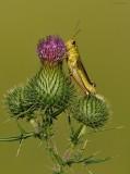 Grasshopper on Thistle.jpg.jpg