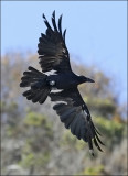 Common Raven, prebasic molt (1 of 2)