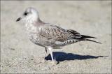 Mew Gull,1st cycle