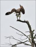 Osprey (1 of 2)