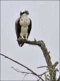 Osprey (2 of 2)