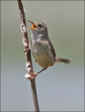 Marsh Wren (2 of 4)